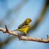 amarillo y negro (Mostly Tim) Tags: black bird birds yellow bolivia pájaros vögel bolivien vogel pájaro gelbschwarz santacruzdelasierra