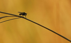 Fly (JPF Photos) Tags: macro nature closeup canon insect fly close natural 100mm mouche insectes macrophotography macrophotographie
