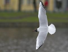 Black-headed Gull (Frode Falkenberg) Tags: norway gulls bergen hordaland larusridibundus blackheadedgull byparken laridae mke mker mse hettemke hettemse chroicocephalusridibundus
