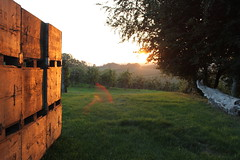Sunset in the Orchard (petite__pomme) Tags: sunset kent orchard