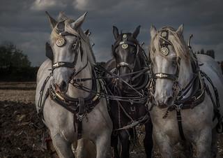 horses ploughing