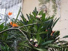 PICT1397 Bllfast Botanic garden, Glasshouse (Anand Leo) Tags: garden plumeria belfast botanic heliconia araliya