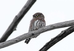 Northern Pygmy-Owl (www.lirongertsman.com) Tags: trees canada tree bird nature birds animal vancouver canon high branch bc natural britishcolumbia wildlife small north birding lookout hike telephoto raptor owl perch perched cypress snag birdofprey cypressmountain pygmy naturephotography pygmyowl birdphotography northernpygmyowl wildlifephotography glaucidiumcalifornicum glaucidiumgnoma canonef400mmf56lusm nountain canoneos60d lironsnaturephotographyphotos lironsnaturephotographycom