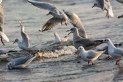 Fressgier (Guggelhupf21) Tags: bird strand deutschland seagull tamron mwe ostsee vogel kste 70300 haffkrug