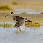 Greater Yellowlegs - Tringa melanoleuca and Lesser Yellowlegs - Tringa flavipes thumbnail