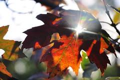 twinkle, twinkle, little leaf (christiaan_25) Tags: red orange sun sunlight tree fall nature colors leaves sunshine season leaf maple twinkle foliage explore flare backlighting 396 oct92014