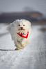 Speed (buchsammy) Tags: schnee winter dog pet white snow cold animal speed canon germany deutschland action outdoor longhair hund ralf bichon mika bestfriend kalt weiss rennen haustier tier havanese weis bitzer quadruped canonef70200mmf40lusm langhaar hüfingen vierbeiner havaneser besterfreund havanais canoneos7d buchsammy hüfingen ralfbitzerphotography