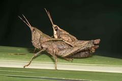 Pseudaristia oxycodia (Caranpaima) Tags: andes grasshopper sauterelle saltamontes gafanhoto tucura pseudaristia oxycodia phaeopariini