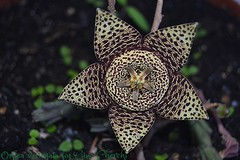 Orbea Variegata  (fiore) (gino cherchi) Tags: sardegna italia huerniazebrina orbeavariegata usini ginocherchi