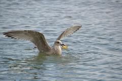 Mwe (Cathrine1) Tags: bird animal germany deutschland balticsea mwe ostsee tier vogel schleswigholstein lbeckerbucht haffkrug