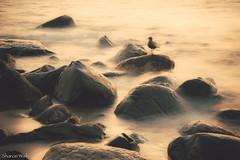 golden slumbers fill your eyes (bluechameleon) Tags: ocean longexposure light color colour bird beach water vancouver sand rocks waves goldenhour bluechameleon sharonwish fordawn bluechameleonphotography
