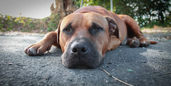 Profundidad de Campo (bipolarsupportgroup) Tags: dog brown mutt eyes dof close sweet depthoffield rough pup