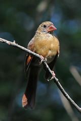 Juvenile cardinal (cheryl.rose83) Tags: bird cardinal