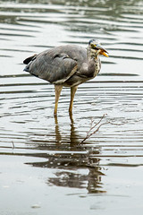 Richmond Park 29.09.14 - 4 (Zena Saunders) Tags: bird heron fishing richmondpark catchingfish