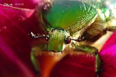 Flower chafer II ~~ (Dave ***) Tags: red portrait macro green nature face dave details lovely beetles makro rosenkfer flowerchafer