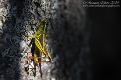 Sun Seeker (sminky_pinky100 (In and Out)) Tags: canada tree closeup insect novascotia grasshopper lichen omot cans2s