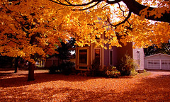 "Golden Yellow Maple Tree over leaf-coated ground • <a style=""font-size:0.8em;"" href=""http://www.flickr.com/photos/34843984@N07/15402209876/"" target=""_blank"">View on Flickr</a>"