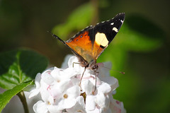 Yellow Admiral Butterfly (Creative_Pixels (on/off busy)) Tags: new red vanessa brown white black nature yellow closeup butterfly insect islands spring artistic norfolk australian cream ivory butterflies rusty australia insects victoria lord zealand dandenong ranges admiral howe nymphalidae nymphalinae itea nymphalini