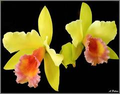 LINDAS ORQUDEAS (apetrin) Tags: flores orchid art garden cores arte natureza flor jardim terra et orqudeas jardins petrin ecologia varginha apetrin
