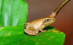 Spring Peeper (nikomelos) Tags: frog frogs amphibians pseudacriscrucifer springpeepers njwildlife njfrogs