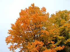 """Fiery Tree and Yellow Green Tree • <a style=""""font-size:0.8em;"""" href=""""http://www.flickr.com/photos/34843984@N07/15423272512/"""" target=""""_blank"""">View on Flickr</a>"""