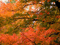 "Patches of Orange and Green Maple leaves • <a style=""font-size:0.8em;"" href=""http://www.flickr.com/photos/34843984@N07/15424914872/"" target=""_blank"">View on Flickr</a>"