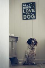 All you need... (JolijnSchilder) Tags: dog love is jasper all you small hond need munsterlander heidewachtel