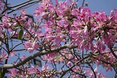 美人樹 Floss-silk Tree (ddsnet) Tags: flowers plant sony cybershot 花 植物 花卉 美人樹 flosssilktree rx10 トックリキワタ