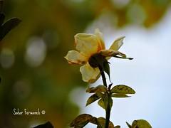 flower (StRo92) Tags: flower yellow nikon flickr