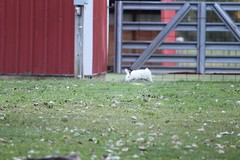 """White Bunny • <a style=""""font-size:0.8em;"""" href=""""http://www.flickr.com/photos/72892197@N03/15458119821/"""" target=""""_blank"""">View on Flickr</a>"""