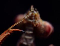 Acromantis japonica (_papilio) Tags: macro mantis nikon japonica invertebrate canonmpe65mm papilio mantid arthropod sigma150mmapo acromantis d800e