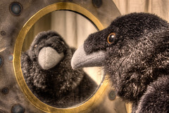 the raven 02 HD oct 14 (Shaun the grime lover) Tags: black bird eye birds toy mirror soft beak plush raven hdr