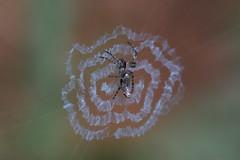ギンナガゴミグモ (Cyclosa ginnaga)
