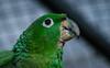 Guacamayo (faltimiras) Tags: ecuador ruins ruinas parrots cuenca ingapirca tucan ruines tuca papagayos guacamayos lloros ingapirka