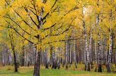 October forest (gráce) Tags: autumn trees fall nature leaves forest october foliage birches