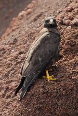 Galapagos Hawk (Prairie_Wolf) Tags: bird nature birds animals ecuador endemic avian travelphotography galapagosislands galapagoshawk buteogalapagoensis islaisabela rachelmackayphotography