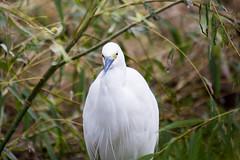 Little Egret (Yoshihiro Ogawa) Tags: bird birds aves egret
