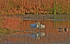 Fernald101214- (digiphotonut) Tags: autumn ohio ross ducks swans reflectios fernaldnaturepreserve