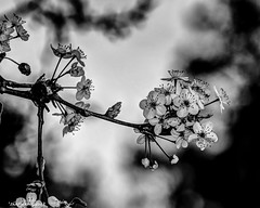 Spring Flowers In B&W (that_damn_duck) Tags: blackandwhite monochrome nature tree spring plant flower petals blossom blooming bw blackwhite