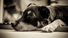 Sneaking Dog (_John Hikins) Tags: lenny kelpie australiankelpie animal australian bw black blackandwhite blackwhite white monochrome d5500 devon dog nikon nikkor 50mm 50mm18 relax resting
