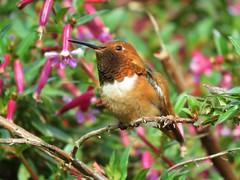 Allen's Hummingbird - SCBG (weezerbee9) Tags: