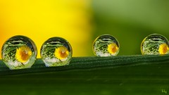 Yellow and Green (Ⓨᗩsmine Ⓗens +5 000 000 thx❀) Tags: 7dwf yellow green drop four drops droplet nature art flickr hensyasmine panasonicdmcgx8