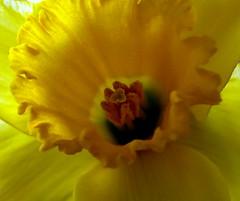 Een lentebode/Harbinger of spring (truus1949) Tags: narcis bloemen macro geel lente