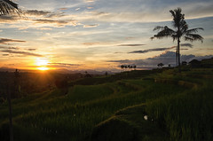 Jatiluwih at sunrise (Kelly Renée) Tags: jatiluwih seasia color landscape lush palmtrees ricefield riceterrace sun sunrise travel tropical