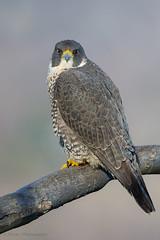 Peregrine Falcon (Female) (Photosequence) Tags: falcon raptor talon hawk predator birdofprey muhammad faizan photography falcoperegrinus peregrine nj statelinelookout newjersey alpine palisades interstate park tiercel