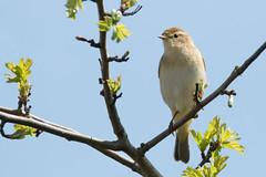 Spring Sunshine (Andrew_Leggett) Tags: willowwarbler phylloscopustrochilus bird warbler perched sunshine spring budbreak rspboldmoor wildlife wild birdlife nature andrewleggett
