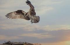 The Return (guarnc) Tags: osprey bird cod cape april nature wildlife drive surf