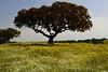 Monte das Vinhas_9bf (x-lucena) Tags: viúvas alentejo azinheira quercusilex montedasvinhas