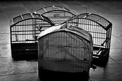 Tradition (leo.vcastro) Tags: bird pássaro ave monocromático pretoebranco pb blackandwhite bw jail gaiola cage minasgerais mg minas brazil greenwingedsaltator greenwinged green saltator trincaferroverdadeiro trinca trincaferro verdadeiro ferro saltatorsimilis similis