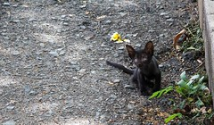 Blind Cat (Layla Imperatori) Tags: kitten animal cat black blind cute road vietnam summer asia flower
